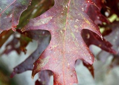 LC259R20 - Autumn's Leaf