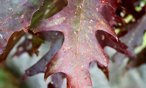 0007 LC259R20 Autumns Leaf