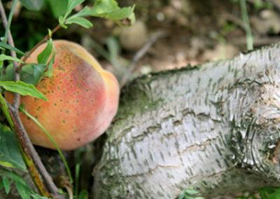 LC257R20 - Peach Picking