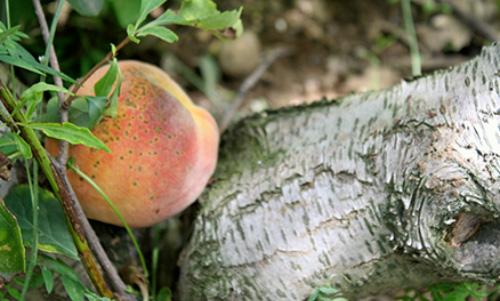0009 LC257R20 Peach Picking
