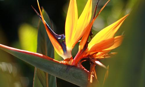 0014 LC252R20 Bird of Paradise