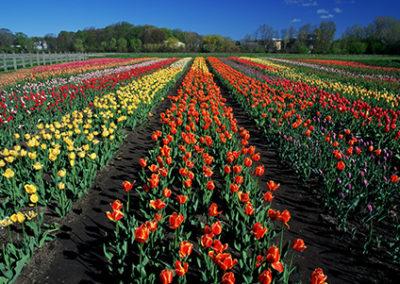 MN132R10 - Tulip Garden