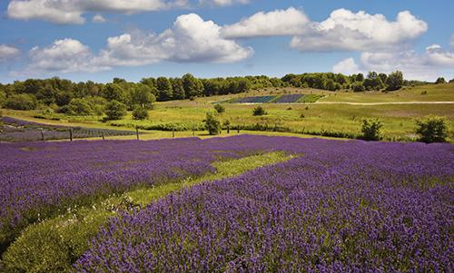 MN016R10 Lavender Field 4
