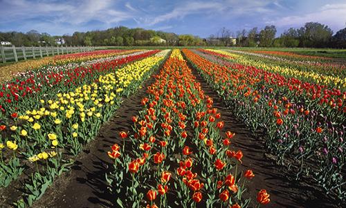 MN035R10 Tulip Garden