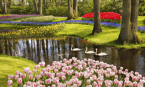 MN036R10 Tulips Stream with Swans