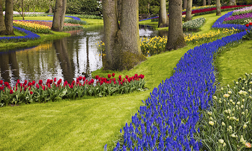 MN037R10 Tulips with Blue Flowers