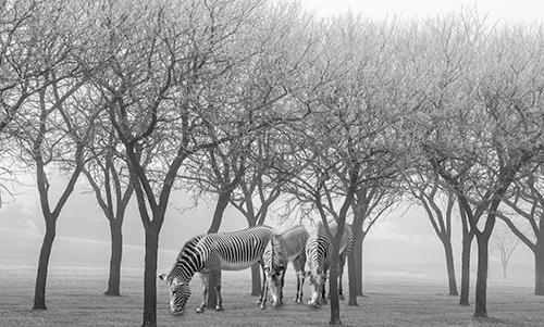 MN039R10 Zebras in the Trees