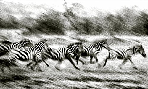 WACC108R200 Stampeding Zebra